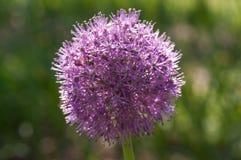 Purple flower in summer fieald. stock photo