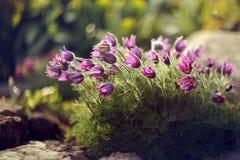 Purple flower in summer in the garden royalty free stock photo