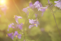 Purple flower in sunset Royalty Free Stock Photography