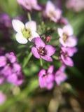 Purple Flower in Sunshine royalty free stock photos