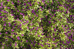 Purple Flower Texture. A soild background of small purple flowers Royalty Free Stock Photo