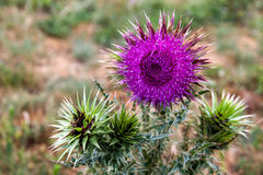 Purple flower of the Thistle Stock Photo