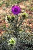 Purple flower of the Thistle Royalty Free Stock Images