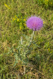 Purple flower on thistle plant. In south-western North Dakota Stock Photography