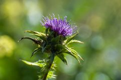 Purple flower, thorn in nature royalty free stock photography