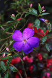 Purple Flower Tibouchina Royalty Free Stock Images