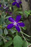 Purple Flower Tibouchina Royalty Free Stock Photo
