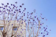 Purple flower tree branches in front of a building royalty free stock photography