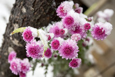 Purple flower under the snow Royalty Free Stock Photography