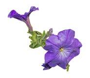 Purple flower Royalty Free Stock Photo