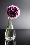 Purple flower in vase. On black background stock images