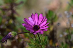 Purple flower. A vibrant purple flower in full bloom Royalty Free Stock Photography