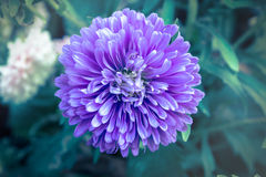 Purple flower in vintage color style. Royalty Free Stock Photo