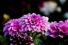 Purple Flower Wallpaper Stock Photos