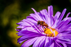 Purple flower. Wasp searching a blooming purple flower for ingredients to make honey Stock Photography