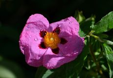 Purple flower with water droplets Stock Photography