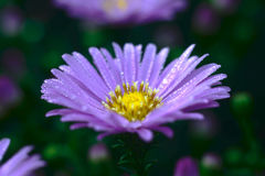 Purple flower. With water droplets after rain Royalty Free Stock Image