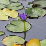 Purple flower water lily Royalty Free Stock Image