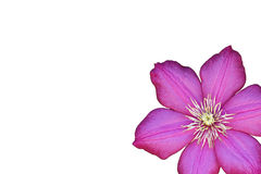 Purple Flower on White Stock Images