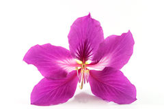 Purple Flower. On White Background Stock Photography
