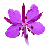Purple flower on a white background Stock Photos