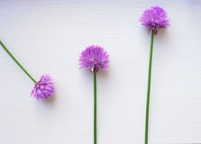 Purple flower on white background Royalty Free Stock Photos