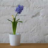 Purple flower in white pot on white brick wall. Purple hyacinths in white ceramic pot on wooden table Stock Photo