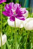 Purple flower with white stripes and white flowers Royalty Free Stock Photos