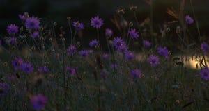 Purple, Flower, Wildflower, Violet Royalty Free Stock Image