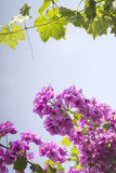 Purple flower and wine leaf Royalty Free Stock Photography