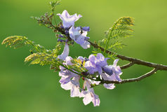 Purple, flower of Wishing tree, cassia bakeriana Royalty Free Stock Images