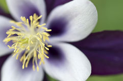 Free Purple Flower With Yellow Stamen Royalty Free Stock Image - 55704226
