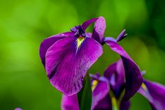 Purple flower with a yellow center  on an green background stock photo