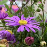 Purple flower yellow center meadow royalty free stock photo