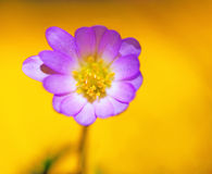 Purple flower on yellow Stock Photography