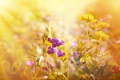 Purple flower between yellow flowers Stock Photo