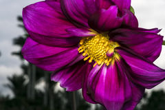 Purple flower with yellow stamen and pollen Stock Image
