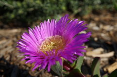Purple Flower with yellow stamin. Flower of purple petals with yellow stamin shining in the sun with garden behind Royalty Free Stock Images