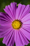 purple flower with yellow stigma Royalty Free Stock Photo