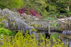 Purple flowered wisteria climbing over a bridge at RHS Wisley, flagship garden of the Royal Horticultural Society, Surrey, UK. Purple flowered wisteria climbing stock image