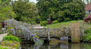 Purple flowered wisteria climbing over a bridge at RHS Wisley, flagship garden of the Royal Horticultural Society, Surrey, UK. Purple flowered wisteria climbing stock photography