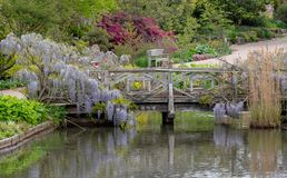 Purple flowered wisteria climbing over a bridge at RHS Wisley, flagship garden of the Royal Horticultural Society, Surrey, UK