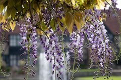 Purple flowered wisteria at RHS Wisley, flagship garden of the Royal Horticultural Society, Surrey, UK. Purple flowered wisteria at RHS Wisley, flagship garden royalty free stock images