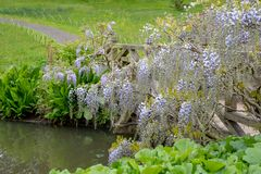 Purple flowered wisteria at RHS Wisley, flagship garden of the Royal Horticultural Society, Surrey, UK. Purple flowered wisteria at RHS Wisley, flagship garden royalty free stock photos