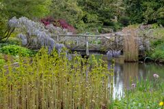 Purple flowered wisteria climbing over a bridge at RHS Wisley, flagship garden of the Royal Horticultural Society, Surrey, UK. Purple flowered wisteria at RHS royalty free stock photos