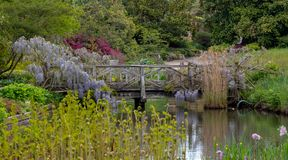 Purple flowered wisteria climbing over a bridge at RHS Wisley, flagship garden of the Royal Horticultural Society, Surrey, UK. Purple flowered wisteria at RHS stock photography