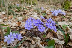 Purple flowering Anemone hepatica in the woods Stock Photo