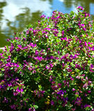 Purple flowering bush Stock Photography