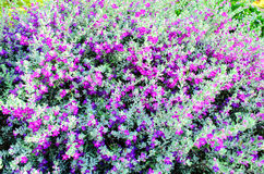 Purple Flowering Bush Royalty Free Stock Image