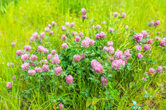 Purple flowering clover plants from close Stock Photos